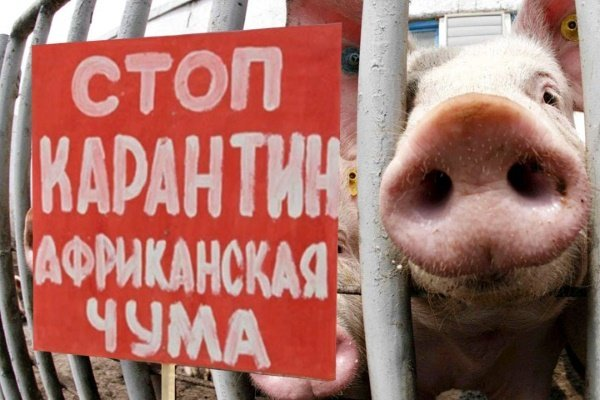 африканская чума свиней, АЧС, Дмитрий Кузин