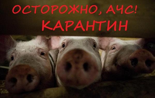 африканская чума свиней, АЧС, болезни животных, Россельхознадзор