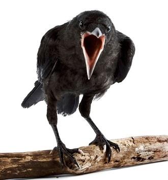 вороны, орнитологи
