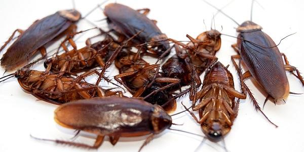 медицина Китая, тараканы, тараканьи фермы