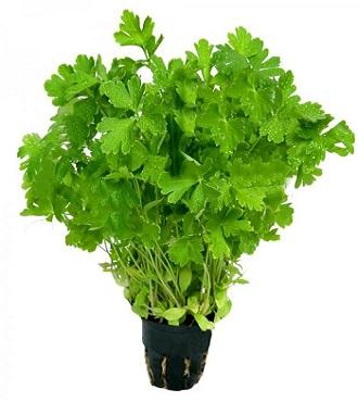 базилик, здоровое питание, зелень, петрушка