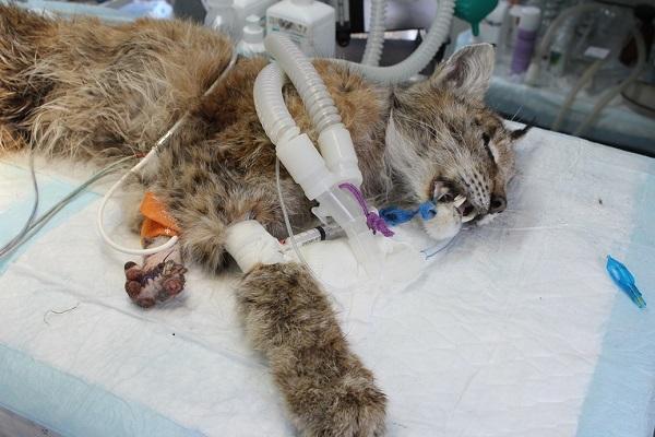Владивостокская ВСББЖ, лечение животных, спасение рыси