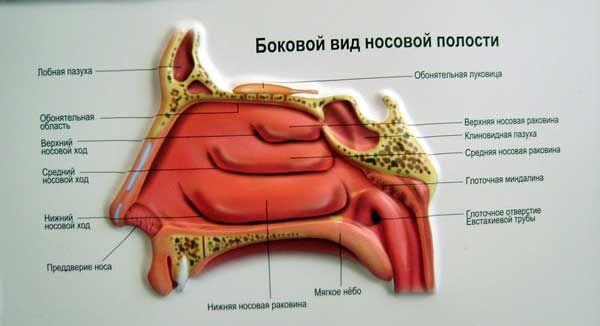 Искривление носовой перегородки - Медицинский портал Приморского края
